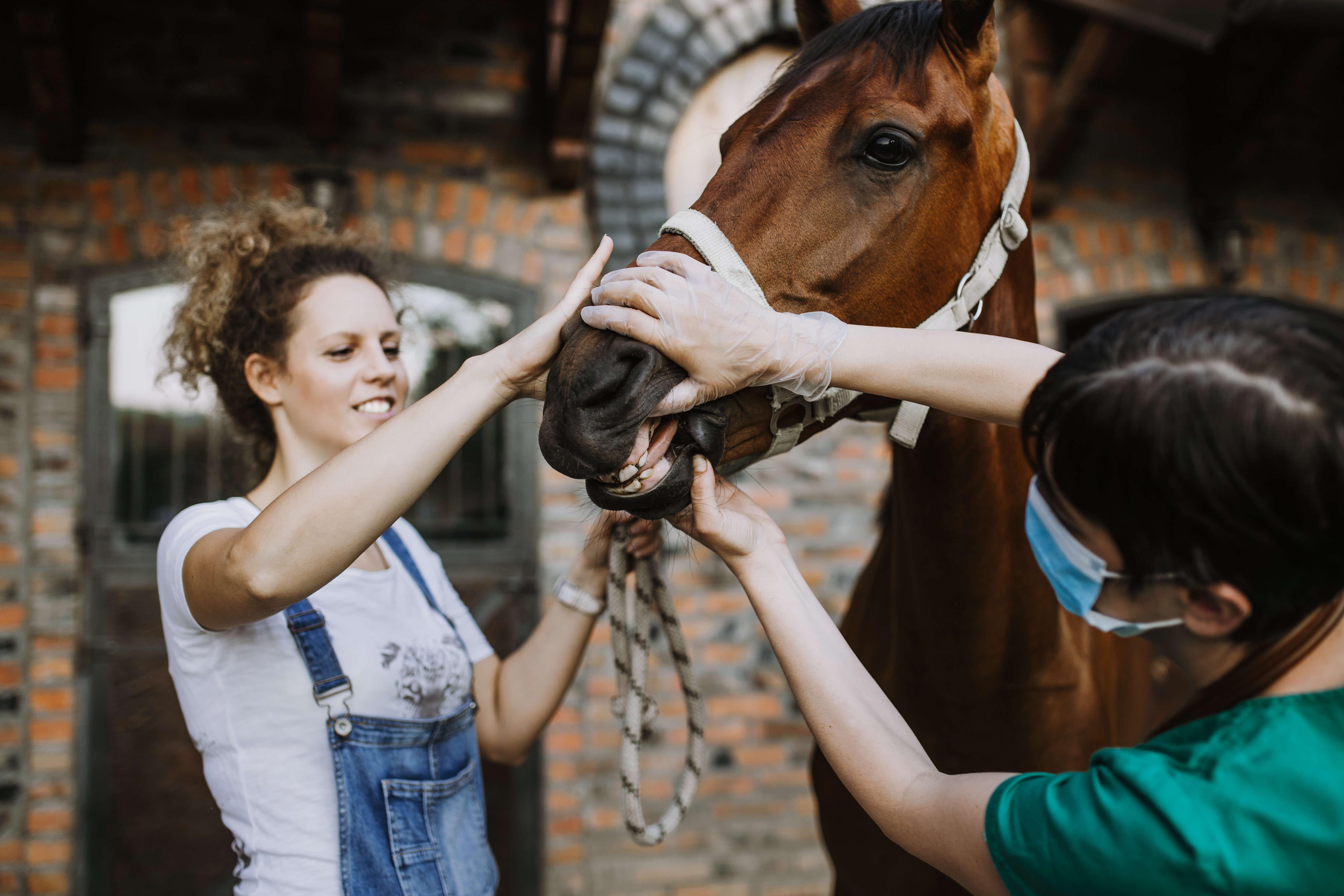 Tierarzt für Pferde bei der Untersuchung der Zähne eines Pferdes; Beispiel, warum eine Pferde Op Versicherung nötig werden kann